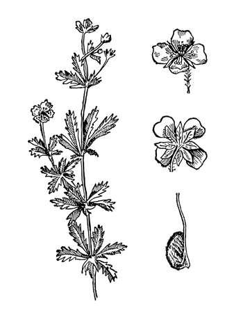 Sanguinaria canadensis hand drawn flower with leaves. Bloodroot drawing sketch forest plant. Reconciling ink line botanical herb. Vintage engraved. Drug medicine additives. Vector illustration.