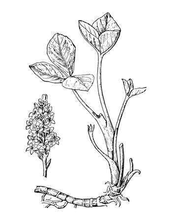 Bogbean hand drawn flowers, leaves and root. Buckbean drawing sketch cosmetic, medicinal plant. Menyanthes trifoliata ink line botanical. Black old vintage outline engrave branch. Vector illustration.