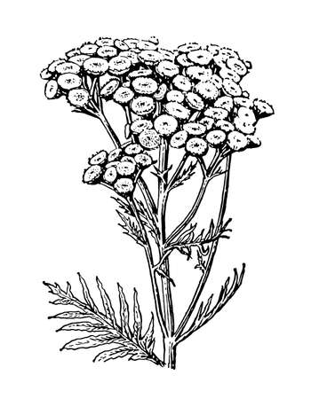 Tansy flowers and leaves isolated background. Elegant drawing Tanacetum vulgare plant, wild herb. Natural botanical and medicinal stem, petals. Retro sketch style engrave floral. Vector illustration.