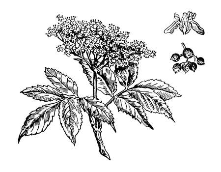 Elderberry hand drawn flower with leaves. Sambucus nigra drawing sketch forest plant branch. Cosmetic, medical additives. Ink line botanical berry. Black old vintage engrave elder. Vector illustration Illustration