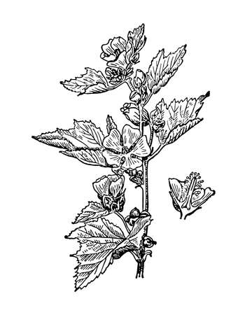 Althaea officinalis flowers and leaves isolated background. Marshmallow plant herbaceous or meadow herb. Drawing wildflower. Botanical, medicinal stem. Retro sketch style engrave. Vector illustration.