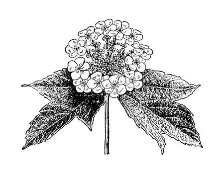 Viburnum hand drawn inflorescence with leaves. Drawing sketch forest plant tree branch. Cosmetic and medical additives. Ink line botanical flower. Black old vintage engrave. Vector illustration.
