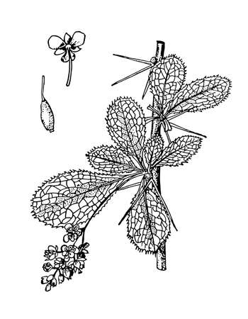 Berberis hand drawn branch with berries and leaves. Barberry drawing sketch forest. Cosmetic, medicinal plant. Evergreen tree ink line botanical. Black old vintage outline engrave. Vector illustration
