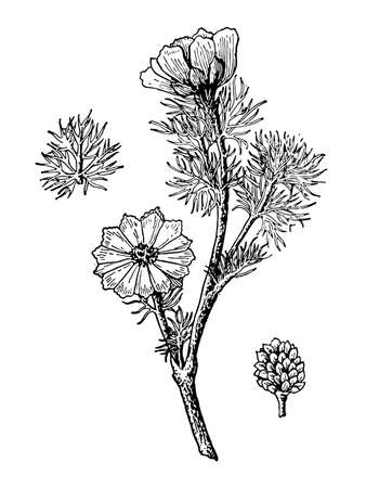 Adonis spring flowers and leaves isolated background. Pheasants Eye plant herbaceous or meadow herb. Drawing wildflower. Botanical, medicinal stem. Retro sketch style engrave. Vector illustration. Illustration