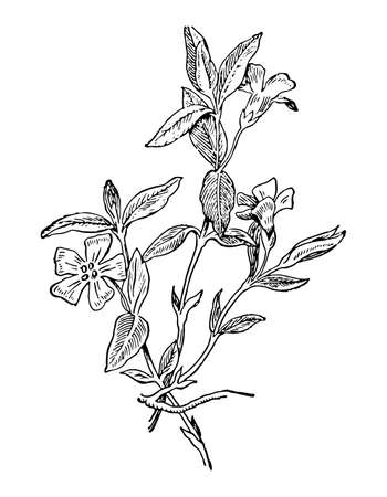 Periwinkle flowers and leaves isolated background. Plant herbaceous or meadow herb. Elegant drawing wildflower detailed. Retro sketch style engrave. Botanical, medicinal stem. Vector illustration.
