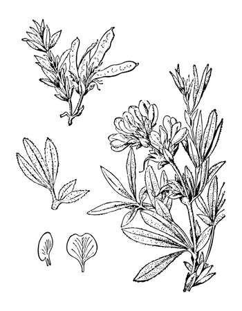 Fabaceae shrub flowers and leaves isolated background. Plant herbaceous or meadow herb. Elegant drawing wildflower. Retro sketch style engrave. Botanical, medicinal stem fruit. Vector illustration.