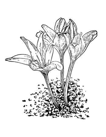 Colchicum flower and leaves isolated background. Plant herbaceous or meadow herb. Hand drawn Crocus inflorescence. Botanical, medicinal stem. Retro sketch style engrave. Vector illustration.