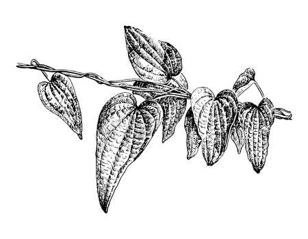 Dioscorea leaves on branch isolated background. Plant herbaceous, meadow herb. Hand drawn elegant wildflower leaflet. Retro sketch style engrave. Botanical, medicinal stem. Vector illustration. Illustration