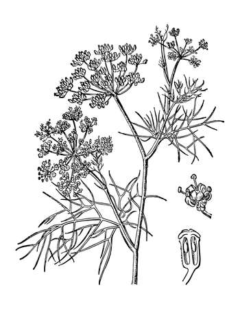 Fennel or dill branch with flowers and leaves isolated background. Plant sketch for organic cosmetic, spice. Retro elegant style engrave. Hand drawn botanical, medicinal herb ink. Vector illustration. Illustration