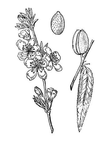Almond branch with flowers, immature fruit and leaves isolated background. Hand drawn nut tree ink. Plant sketch for oil, organic cosmetic, spice. Retro elegant style engrave. Vector illustration.