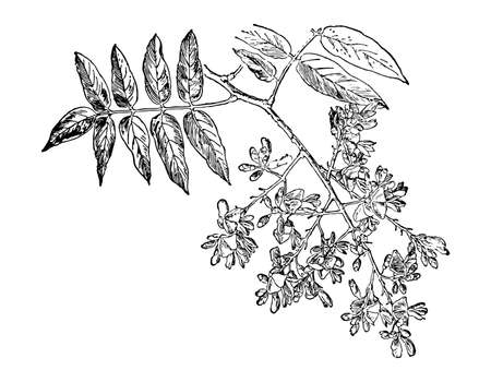 Sophora Japonica branch flower and leaves isolated background. Plant herbaceous, meadow herb. Hand drawn wildflower. Retro sketch style engrave. Botanical, medicinal stem. Vector illustration. Ilustrace