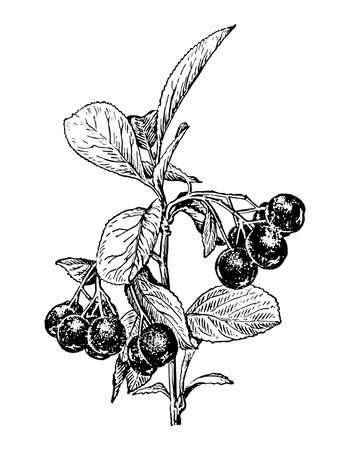 Chokeberry branch with berries and leaves isolated background. Hand drawn botanical, medicinal fruit. Plant sketch for tea, organic cosmetic, aromatherapy. Retro style engrave. Vector illustration.