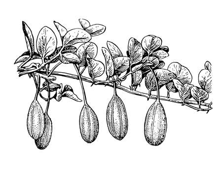 Capers branch fruit and leaves isolated background. Plant herbaceous or meadow herb. Hand drawn vegetarian food, spice. Retro sketch style engrave. Botanical, medicinal stem. Vector illustration.