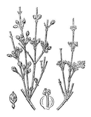 Ephedra branch flower and leaves isolated background. Plant herbaceous or meadow herb. Hand drawn elegant wildflower. Retro sketch style engrave. Botanical and medicinal stem. Vector illustration. Ilustrace