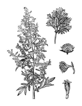 Wormwood, Artemisia branch flower, leaves isolated background. Plant herbaceous, meadow herb. Hand drawn elegant wildflower. Retro sketch style engrave. Botanical, medicinal stem. Vector illustration.