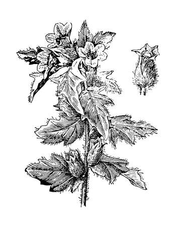 Henbane branch flower and leaves isolated background. Plant herbaceous or meadow herb. Hand drawn elegant wildflower. Retro sketch style engrave. Botanical, medicinal stem. Vector illustration. Illustration