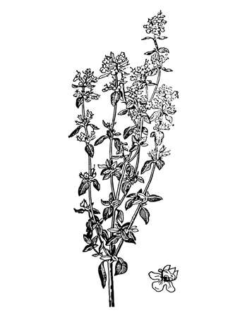 Thyme branch with flowers and leaves isolated background. Hand drawn botanical and medicinal herb spice. Plant sketch for tea, organic cosmetic, aromatherapy. Retro style engrave. Vector illustration.
