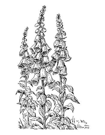 Digitalis bush of branch with flowers and leaves isolated background. Plant sketch for organic cosmetic. Retro style engrave foxglove. Hand drawn botanical and medicinal herb. Vector illustration.