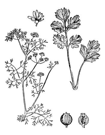 Coriander branch with flowers, seeds and leaves on isolated background. Plant cilantro sketch food ingredient, aromatherapy. Hand drawn Chinese parsley herb ink. Retro style. Vector stock illustration Illustration
