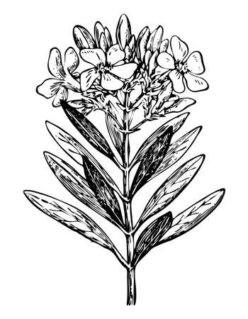 Nerium oleander branch with flowers and leaves isolated background. Plant sketch for organic cosmetic. Hand drawn botanical, medicinal herb ink. Retro elegant style engrave. Vector stock illustration.