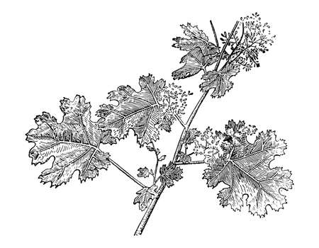 Macleaya cordata branch with flowers and leaves isolated background. Plant sketch for organic cosmetic. Hand drawn botanical, medicinal herb ink. Retro elegant style engrave. Vector stock illustration