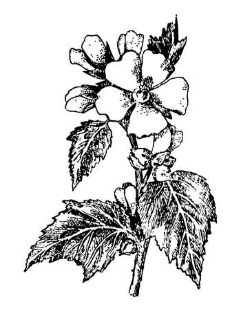Althaea branch with flowers and leaves on isolated background. Plant Marshmallow sketch ingredient, cosmetics, medical. Hand drawn botanical herb ink. Retro style engrave. Vector stock illustration. Illustration