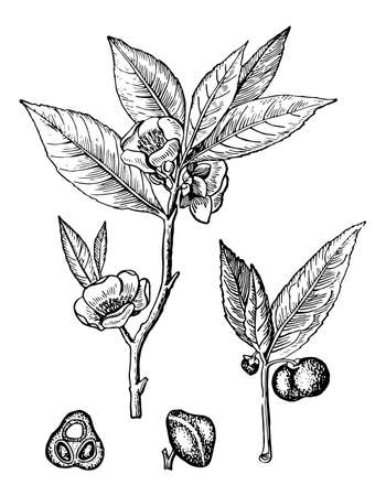 Chinese tea branchs with flowers, seeds and leaves isolated background. Plant sketch for print drink or organic cosmetic. Hand drawn herb ink. Retro elegant style engrave. Vector stock illustration.