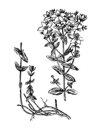 St. Johns wort branch with flowers, root and leaves on isolated background. Plant hypericum sketch for cosmetic or medical ingredient. Hand drawn botanical herb ink engrave. Vector stock illustration