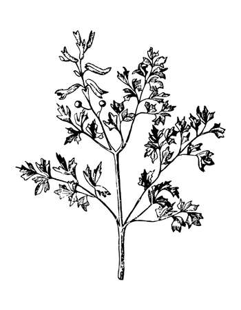 Fumitory branch with flowers and leaves on isolated background. Plant Fumaria sketch for cosmetic or medical ingredient. Hand drawn spring botanical herb ink engrave style. Vector stock illustration.