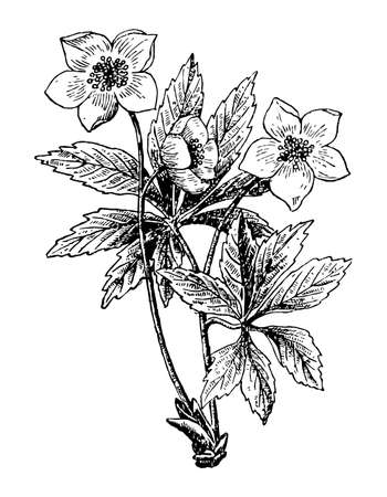 Helleborus branch with flowers and leaves on white isolated background. Forest plant sketch for cosmetic or medical ingredient. Hand drawn botanical herb ink engrave slyle. Vector stock illustration.