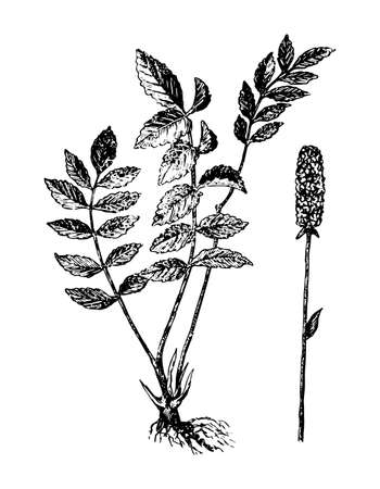 Sanguisorba branch with flowers and leaves on isolated background. Great burnet plant sketch for cosmetic, medical ingredient. Hand drawn botanical herb ink engrave style. Vector stock illustration.