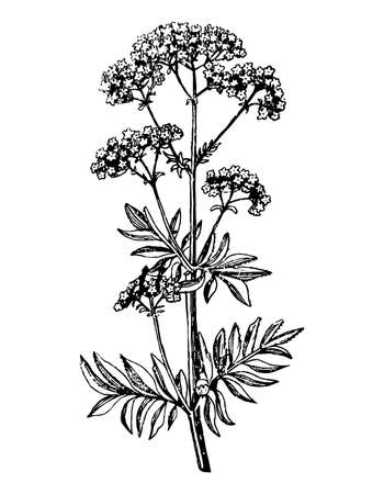Valeriana branch with flowers and leaves on isolated background. Plant valerian inflorescence sketch cosmetics, medical ingredient. Hand drawn botanical herb ink engrave. Vector stock illustration.