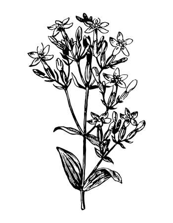 Centaury branch with flowers and leaves on white isolated background. Forest plant Centaurium sketch for cosmetic, medical ingredient. Hand drawn botanical herb ink engrave. Vector stock illustration. Illustration
