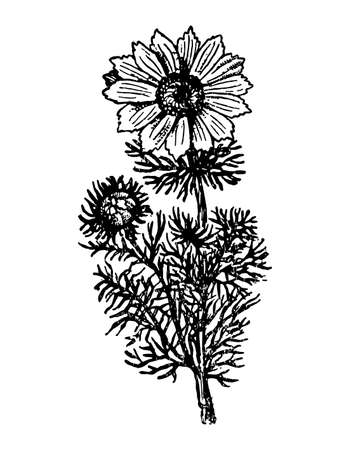 Adonis branch with flowers and leaves on isolated background. Plant Pheasants Eye sketch cosmetics, medical ingredient. Hand drawn spring botanical herb ink engrave style. Vector stock illustration.