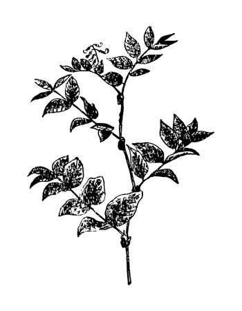 Galega branch with flowers and leaves on isolated background. Forest plant Goat root sketch for cosmetic, medical ingredient. Hand drawn botanical herb ink engrave style. Vector stock illustration.