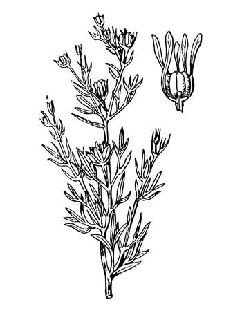 Harmala branch with flower and leaves on isolated background. Forest wild rue plant sketch for cosmetic or medical ingredient. Hand drawn botanical herb ink engrave style. Vector stock illustration.
