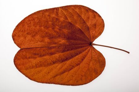 Golden leaved liana on white background
