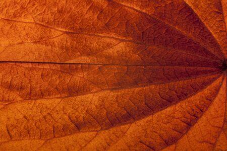 Golden leaved liana (Bauhinia aureifolia K. & SSLarsen) Imagens