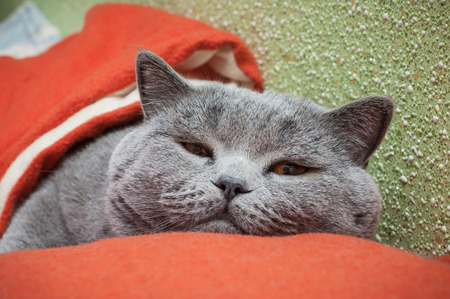 dozing: British cat relaxing on the couch Stock Photo