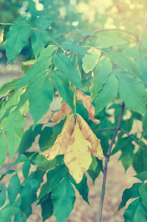 solar flare: Yellow and green leaves on branch. Autumn concept. Solar flare
