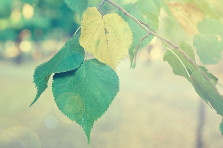 solar flare: Yellow and green leaves on branch. Autumn concept. Retro toned. Solar flare.