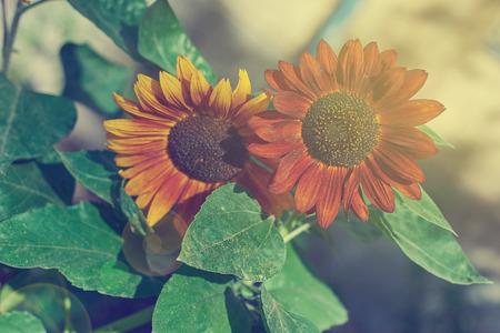 lose up: Сlose up to red and orange sunflowers. Retro toned image. Solar flareю