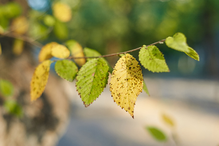 brich: Yellow and green leaves of brich branch. Close up. Focus on yellow leaf. Atutmn concept.