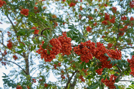 ash berry: Mountain ash tree with ripe berry