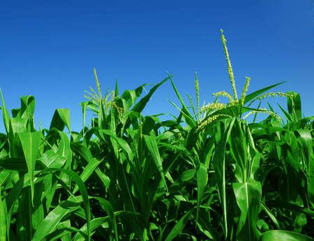 澄んだ青い空の上のトウモロコシ畑 写真素材