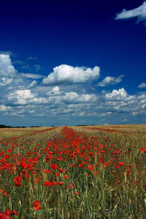 小麦とポピーの草原 写真素材