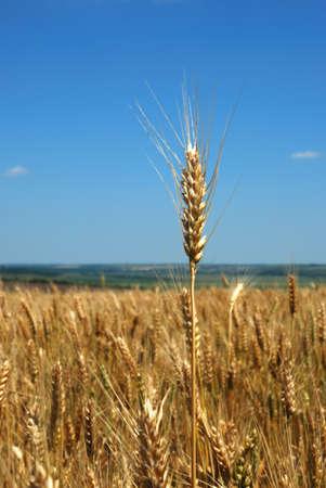 青い空に麦畑
