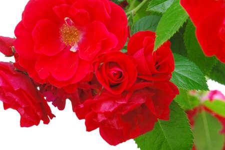 美庭の赤いバラ