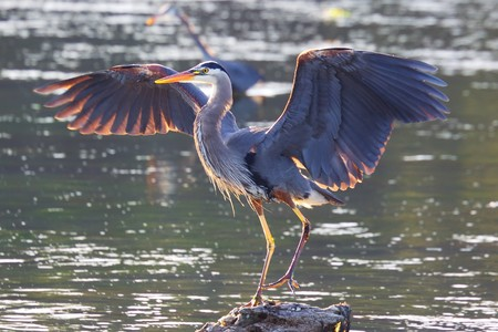 marshes: Great Blue Heron Stock Photo