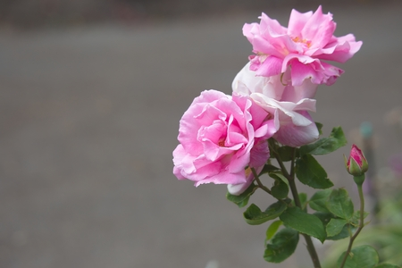 victoria bc: Rose in the Government House park, Victoria, BC, Canada